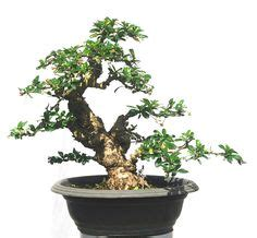 Gergaji Bonsai By Artha Bonsai Vio alberta spruce after bonsai