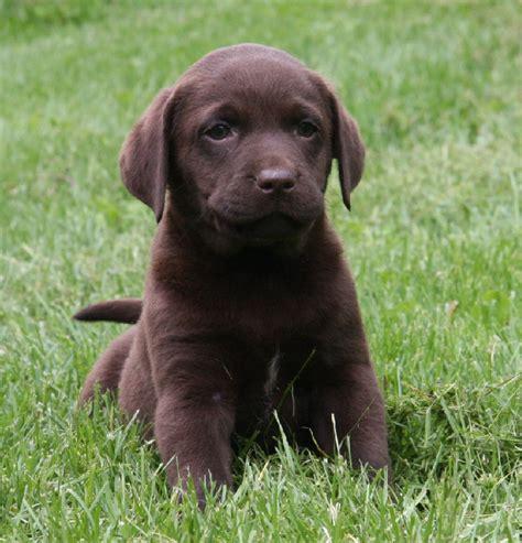 chocolate lab puppies ta chocolate lab retriever breeders pond labradors