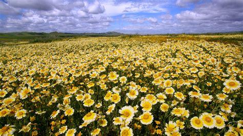 Wildflowers carrizo plain national monument ca