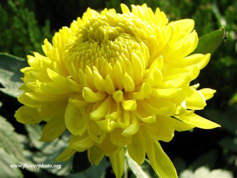 mums flowers photo of big yellow mum flower