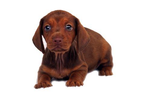 imagenes en png de animales raza de perros de acuerdo a su tama 241 o el mejor amigo del