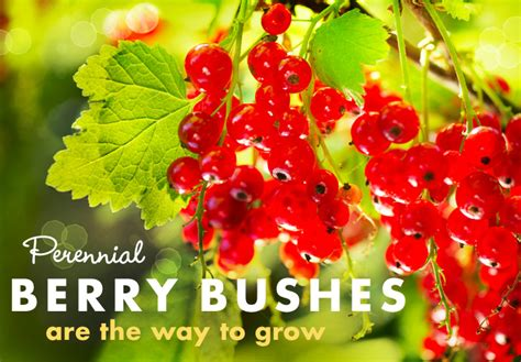 perennial fruit trees for perennial fruit gardens berries are the way to grow