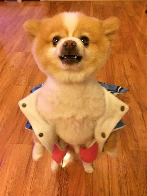how does it take for pomeranian hair to grow pomeranian objects to haircut in the most way possible barkpost