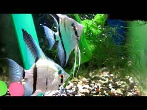 VIDEO: Dark Black Platinum blue Ghost Angelfish escalare skalar