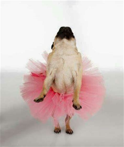 howling pug 909 best images about animals and pugs on pug costumes and pug