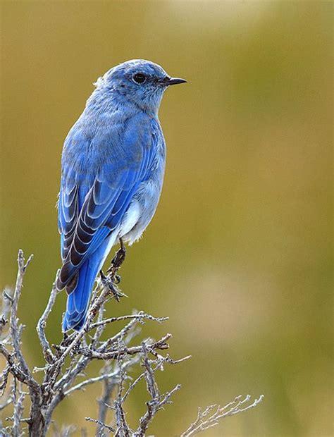 mountain bluebird birds and owls pinterest