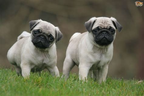 pug breed pug encephalitis pde pets4homes