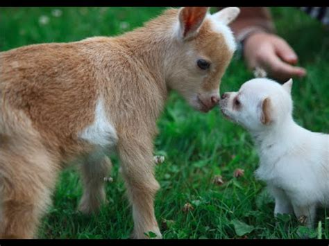 how many puppies do chihuahuas the time chihuahua puppy with baby goats chihuahua buzz