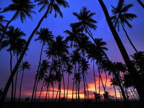 Palm Tree Wallpaper by Gallery For Gt Real Palm Tree Wallpaper