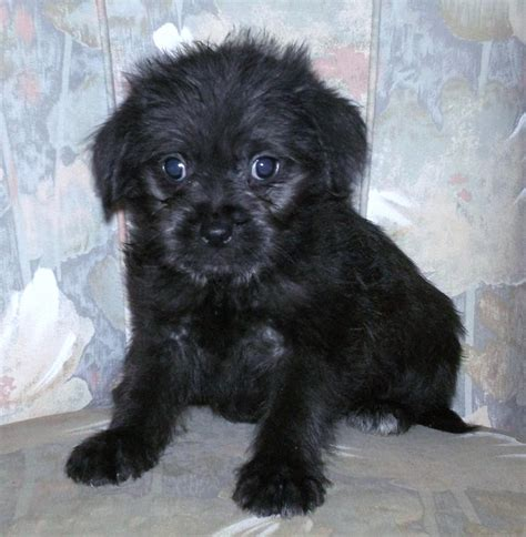 pug breeders adelaide maltese cross puppies for sale adelaide breeds picture