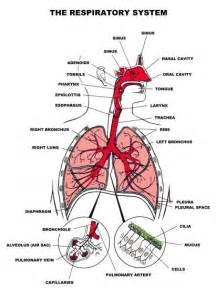 Respiratory system anatomy of the human body picture