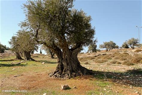 tree in bible olive trees bibleplaces
