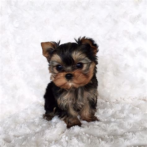 micro mini puppies micro teacup yorkie puppy for sale iheartteacups