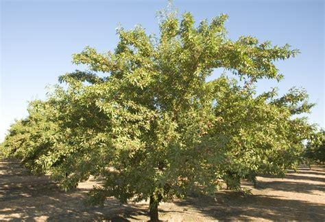 almond fruit tree independence 174 alm 21 cv almond dave wilson nursery