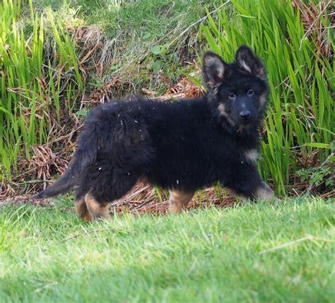 coat german shepherd puppies for sale coat german shepherd puppies for sale coat german shepherd dogs breeds picture