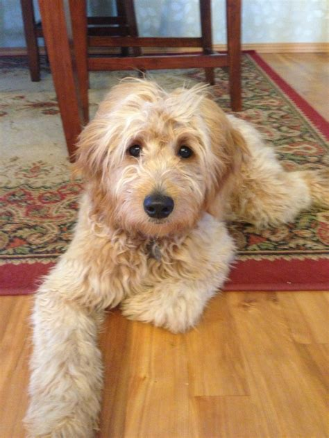 how cut golden doodle hair 35 best images about goldendoodle haircuts on pinterest