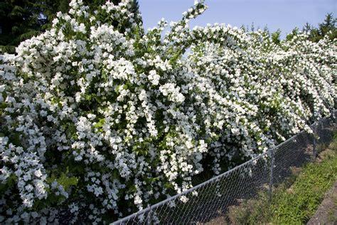 Philadelphus × virginalis ?Natchez? Natchez Flowering Mock