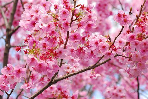 imagenes flores de cerezo photo collection flor de cerezo fondos
