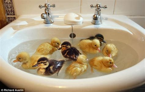 baby duck bathtub most people keep their ducks in the bath but this lot