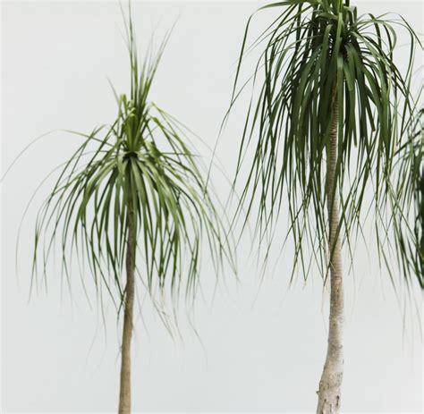 gr npflanze gro e bl tter pflanze mit v pflanze mit zauberkr ften pflanzen botanik