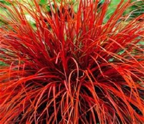 17 Best images about Ornamental Grasses on Pinterest