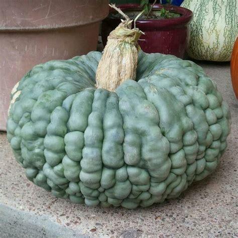 Marjan Squash 24 best images about warty pumpkins on squash