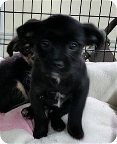 miniature pinscher mixed with shih tzu avon ny shih tzu miniature pinscher mix meet huck a puppy for adoption
