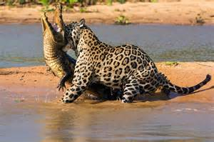 Jaguar Killing A Crocodile Leopard