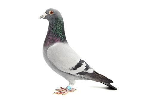 blue bar homing pigeon on white the pigeon photographer