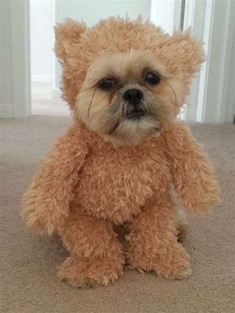 shih tzu teddy costume a shih tzu wearing a walking teddy costume that was made especially for