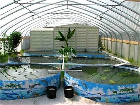 backyard tilapia aquaponics sustainable food production tilapia farm i currently