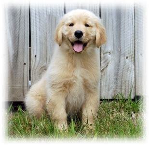 golden retriever breeders kansas city white golden retriever puppies kansas city dogs our friends photo
