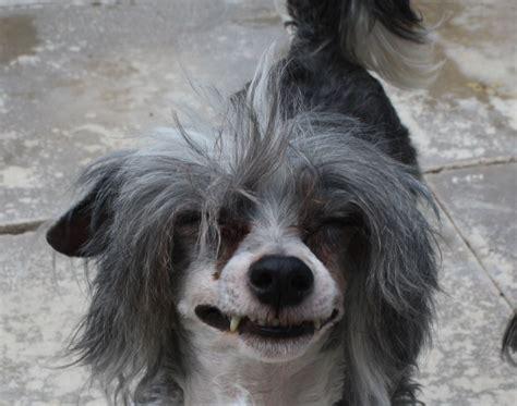 crested powder puff puppies powder puff runcorn cheshire pets4homes