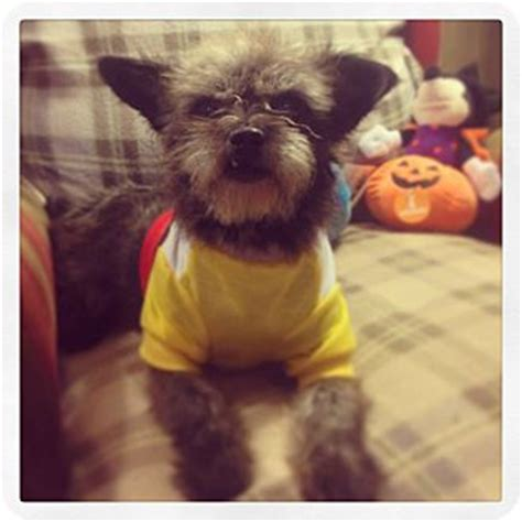 affenpinscher yorkie mix seattle wa affenpinscher yorkie terrier mix meet tootie a for adoption