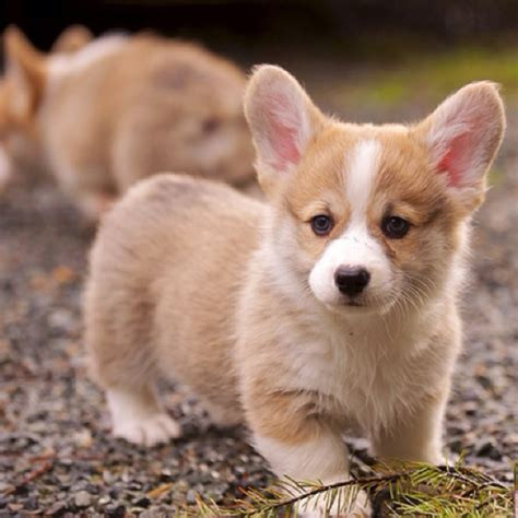 corgi puppies for sale chicago types of teacup dogs breeds picture