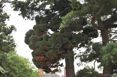 la sorcire dans les 2070664759 balai de sorcire dans un pin thiberville flore locale ou pas les galeries photo de plantes