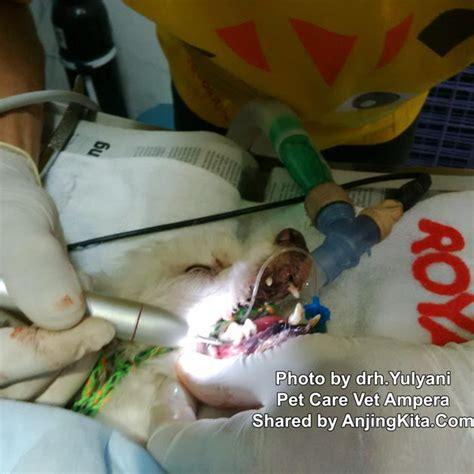 Biaya Pembersihan Karang Gigi Anjing Pembersihan Karang Gigi Pada Anjing Kesehatan Anjing