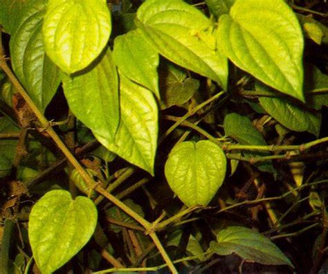 Daun Sirih Ramuan Obat ramuan herbal dari daun sirih untuk pengobatan penyakit