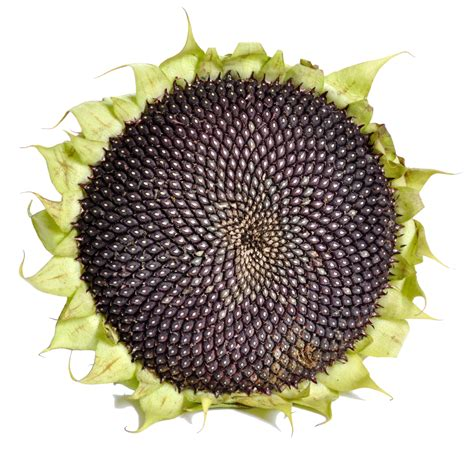 black sunflower seed canada file sunflower with black seeds png wikimedia commons
