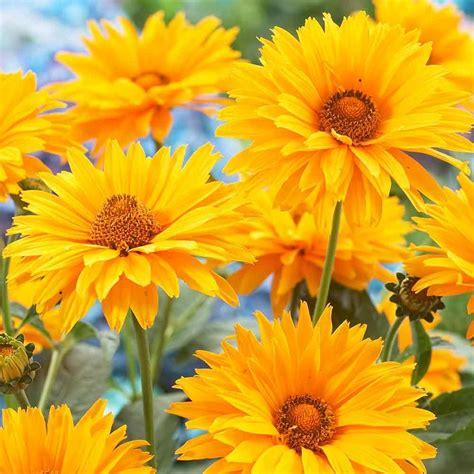 buy heliopsis scabra summer sun  parker dutch bulbs
