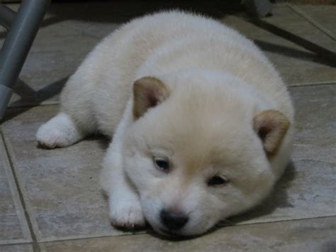 white shiba inu puppies a project to improve ad 648 facilitation new trends in education