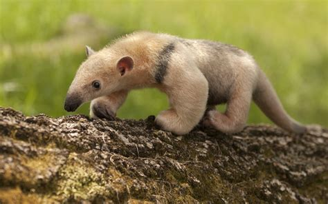 exotic animals anteater day