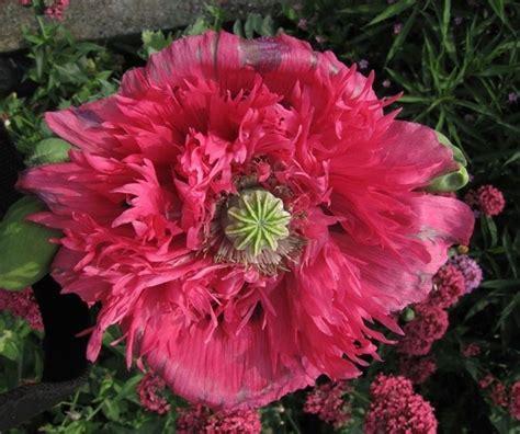 fiore oppio papavero da oppio piante officinali caratteristiche
