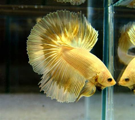 Betta Gold Size S gorgeous metallic gold butterfly halfmoon betta