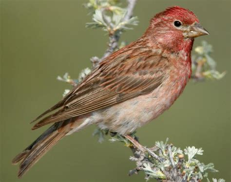 house finch calls cassin s finch songs and calls larkwire