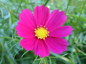 flower picture cosmos flower