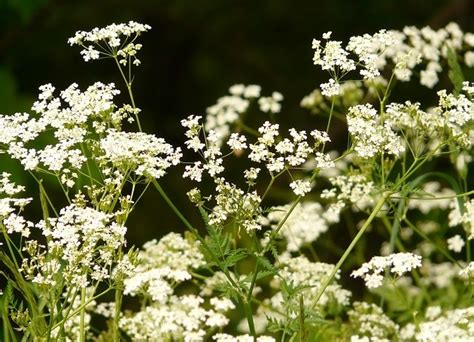 chervil  french gourmets parsley