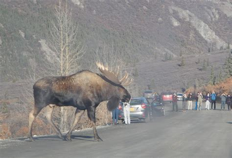 Can A Big Get Some by Check Out 4 Of The Baddest Moose On The