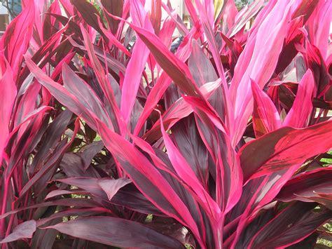 Bibit Bunga Indonesia jual bibit bunga andong merah di kediri java landscape