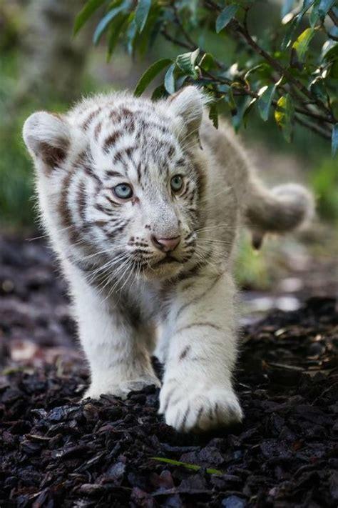 baby white tiger cubs baby white tiger cubs
